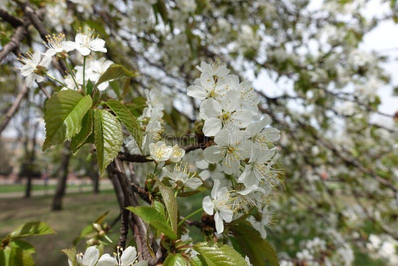 Prunus cerasus w kwiacie w wiośnie obraz stock