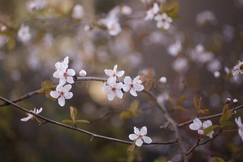Prunus domestica Blumen im Frühjahr stockfotos