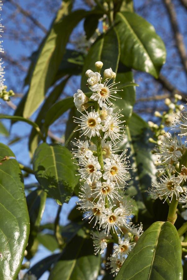 Prunus laurocerasus in bloom στοκ φωτογραφία με δικαίωμα ελεύθερης χρήσης