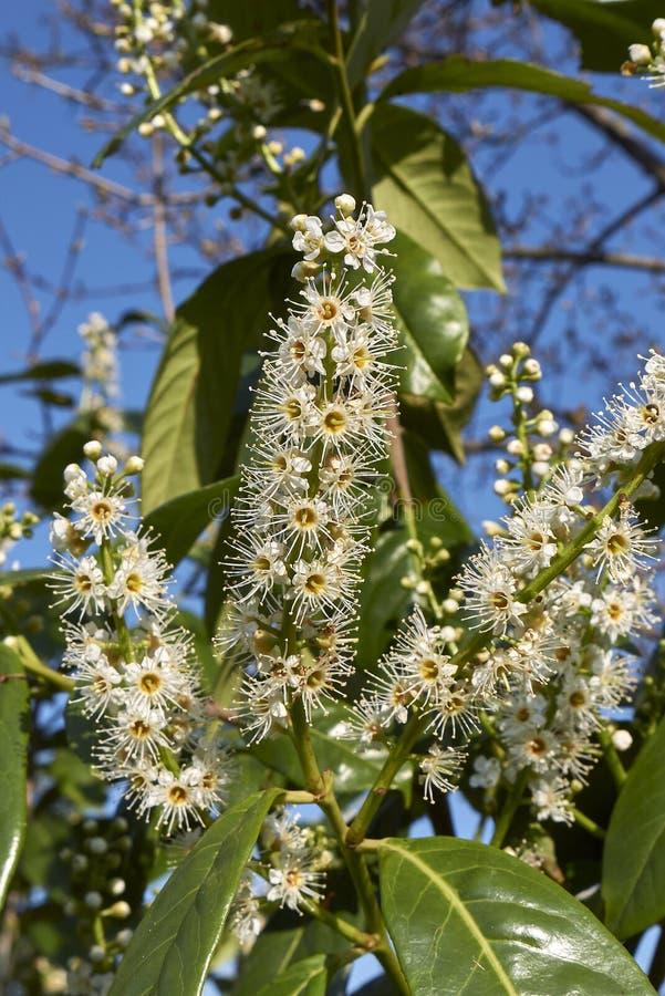 Prunus laurocerasus in bloom στοκ εικόνα με δικαίωμα ελεύθερης χρήσης