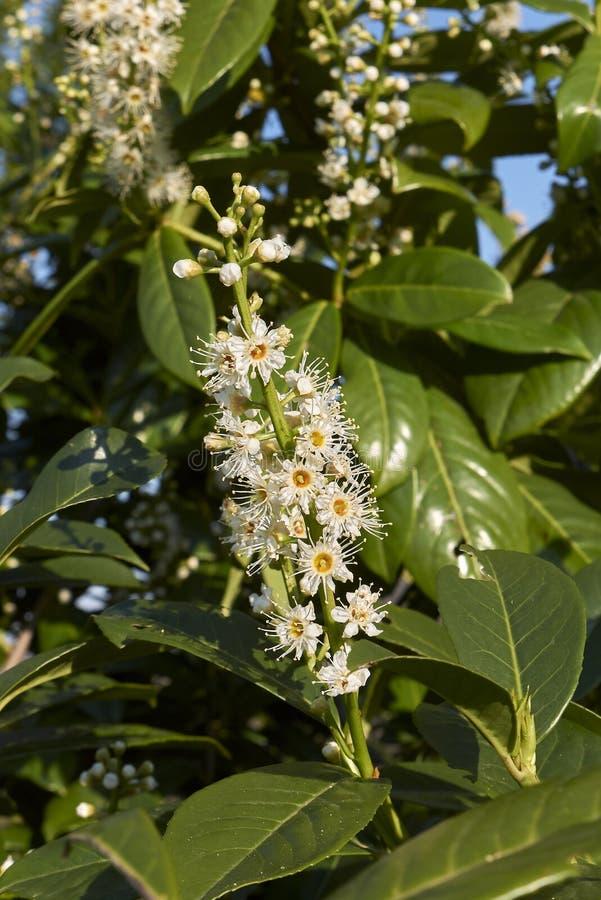 Prunus laurocerasus in bloom στοκ εικόνες