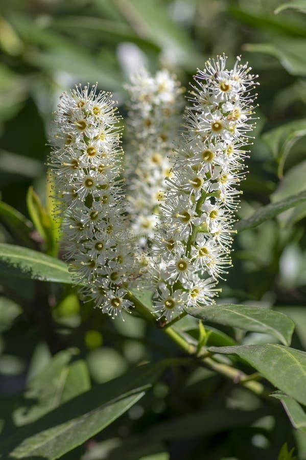 Prunus laurocerasus vulgar inglês lourel evergreen shrub em flores brancas floridas imagem de stock