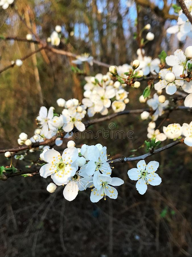 Prunus mume στοκ εικόνες με δικαίωμα ελεύθερης χρήσης