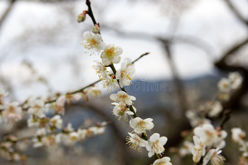 Prunus mume στοκ εικόνα με δικαίωμα ελεύθερης χρήσης