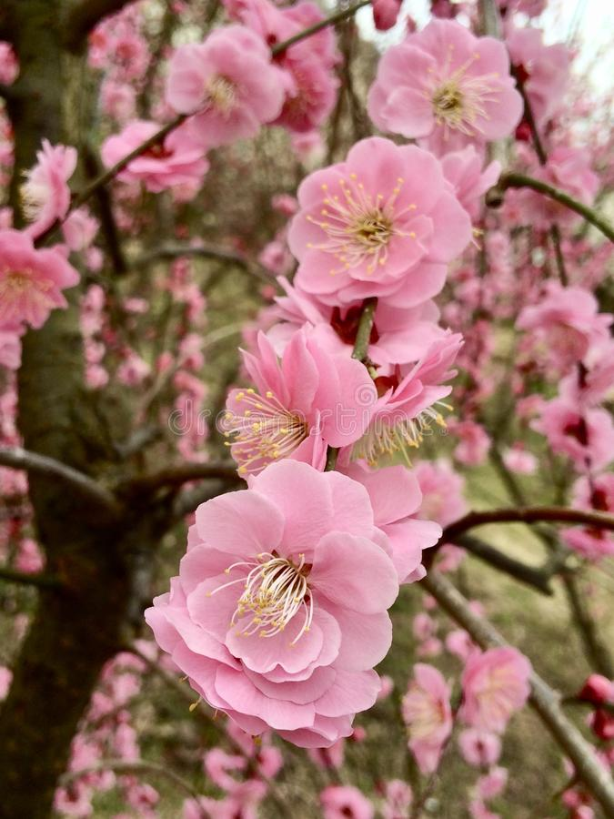 Prune Ume in Japanese Flower Park royalty free stock photography