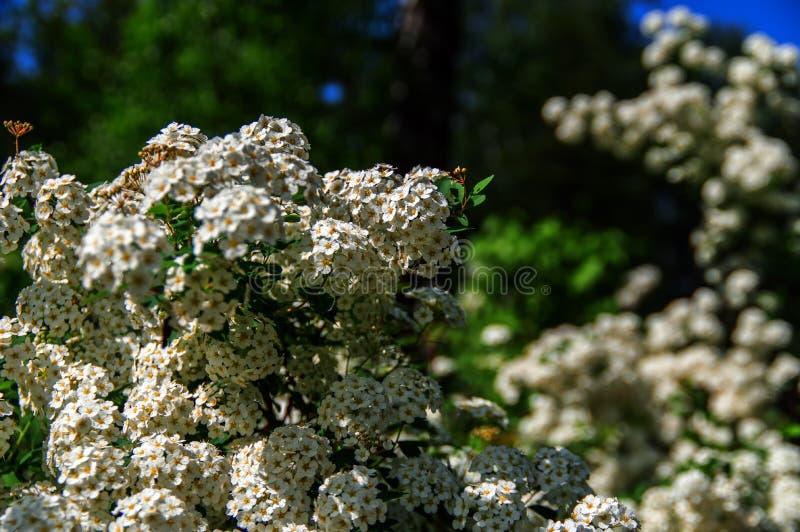 Prunus padus della barriera della farina della ciliegia di uccello Hackberry nevoso dei fiori del fiore Uccello-ciliegia di bianc fotografia stock