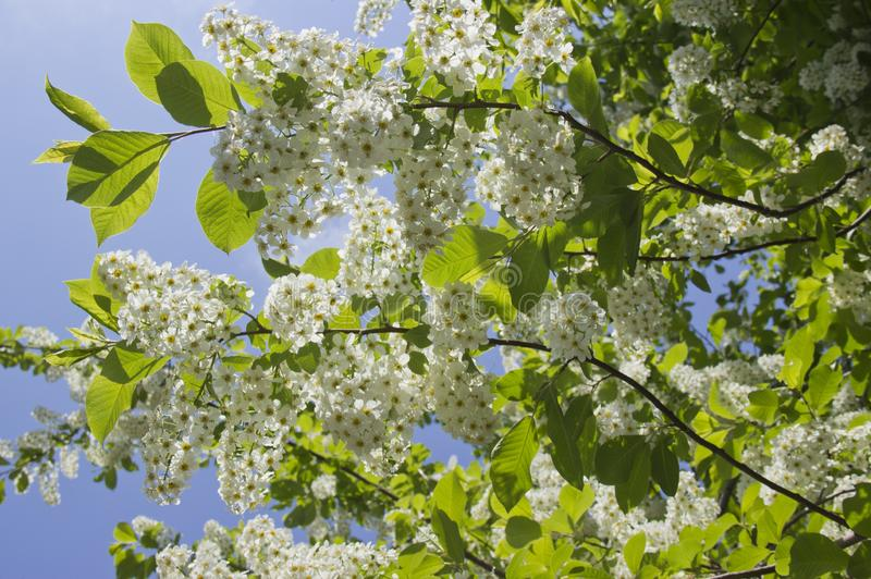 Prunus padus species of small trees of the genus Prunus in the family Rosaceae. Prunus padus branch with white flowers royalty free stock photography