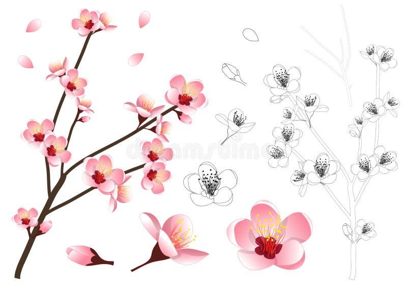 Prunus Persica - esboço da flor da flor do pêssego Ilustração do vetor Isolado no fundo branco ilustração do vetor
