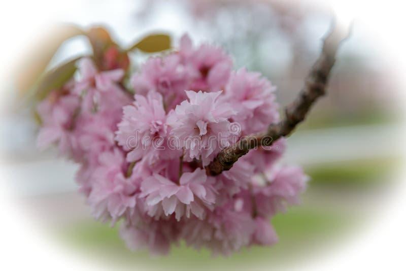 Cherry blossoms Prunus serrulata ` Kanzan` stock images
