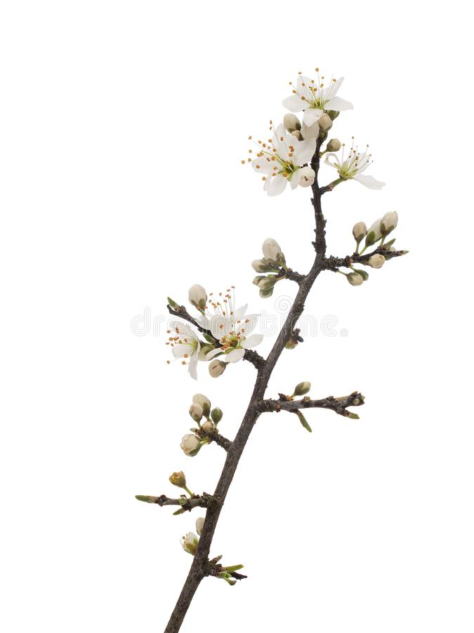 Prunus spinosa, blackthorn aka sloe blossom in springtime, isolated on white background. Delicate white flowers, close royalty free stock images