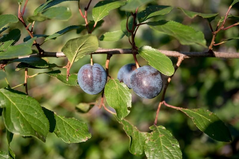 Prunus spinosa blackthorn, or sloe. The fruits of blackthorn Spinosa prunus berries commonly known as blackthorn or sloe royalty free stock photo
