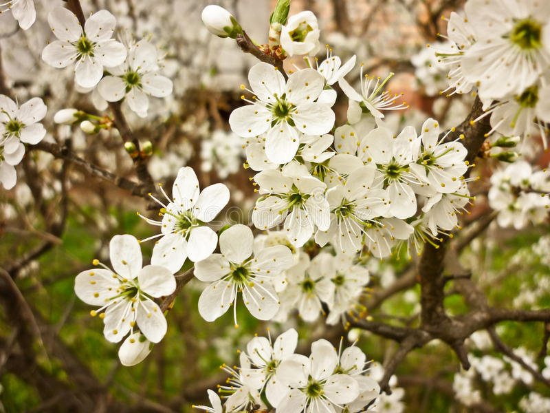 Prunus spinosa (prugnolo, prugnola) fotografia stock libera da diritti