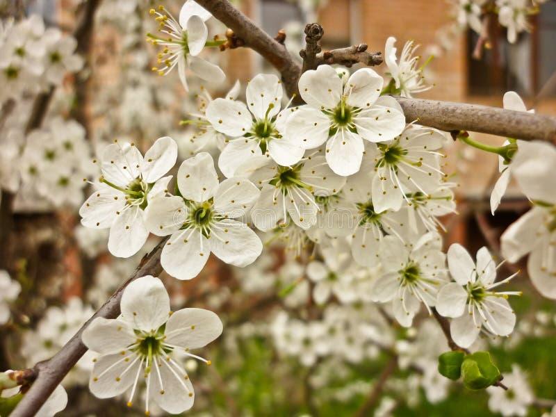 Prunus spinosa (prugnolo, prugnola) fotografie stock