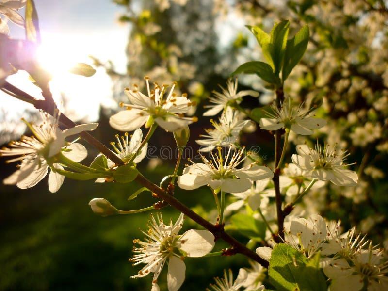 Prunus spinosa (prugnolo, prugnola), contro luce del sole immagini stock