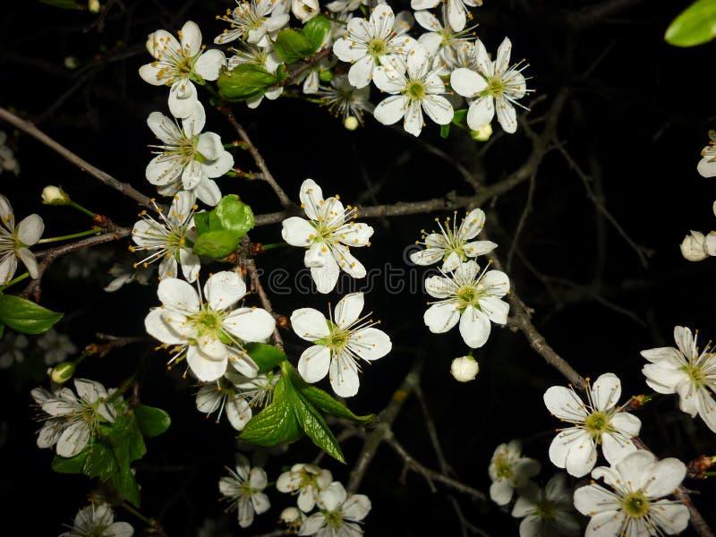 Prunus spinosa (prugnolo, prugnola), fioritura della molla di fotografia, fiori su un fondo nero fotografia stock libera da diritti