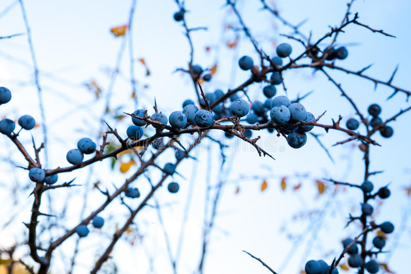 Prunus spinosus royalty free stock image
