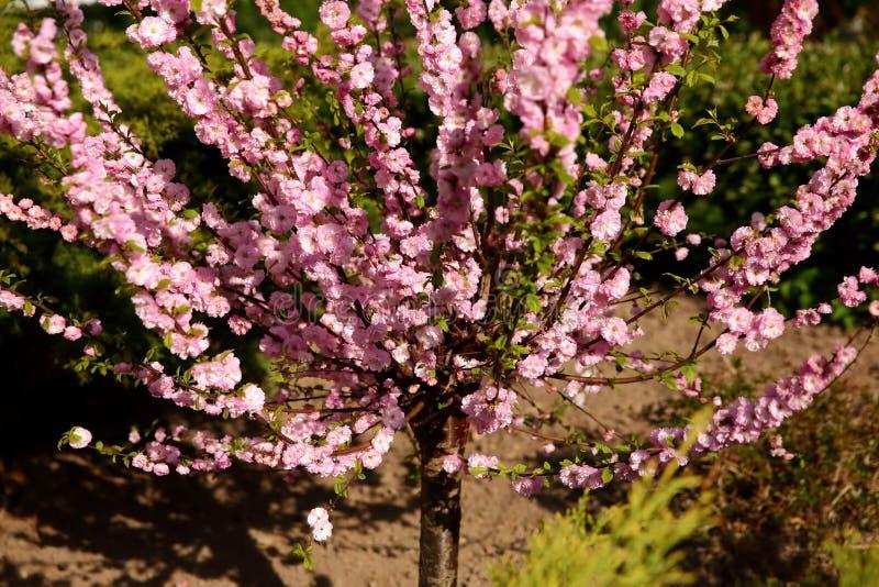 Prunus triloba ist ein einzigartiger Baum, der ausgiebig im Monat April in Polen blüht lizenzfreies stockbild