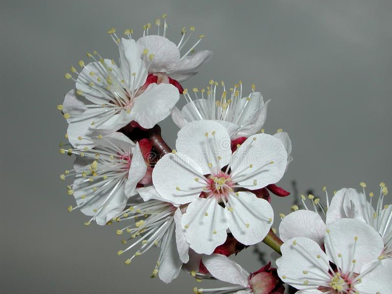 Prunusarmeniaca in bloei stock foto's