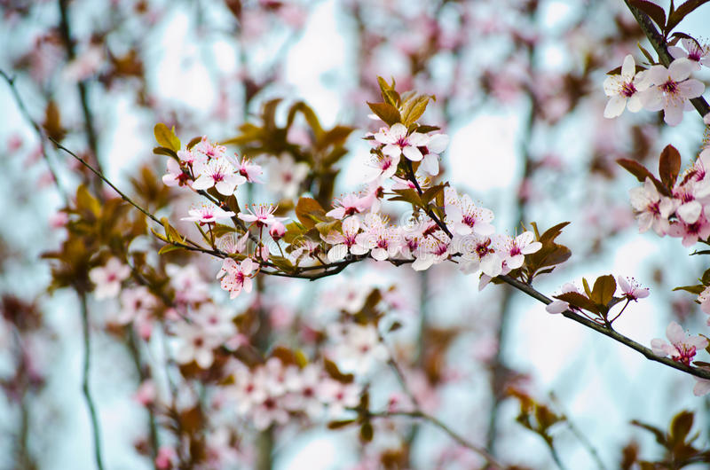 Prunusbloem stock afbeeldingen