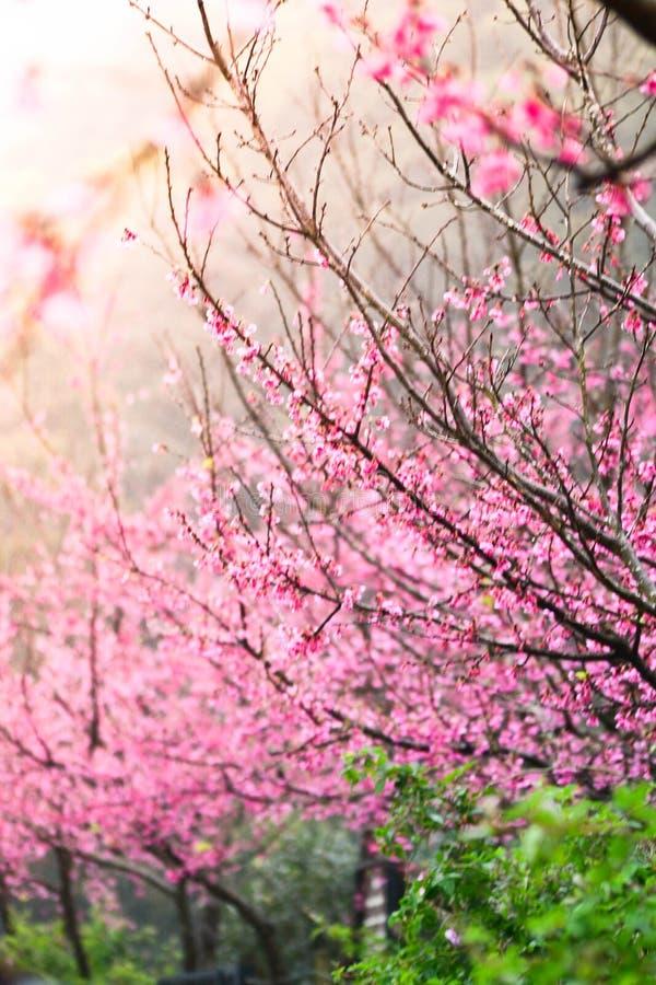 Prunuscerasoides royaltyfri foto