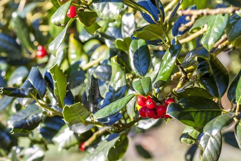 Prunuslaurocerasus, röda blomningar för körsbärsrött lager arkivfoton