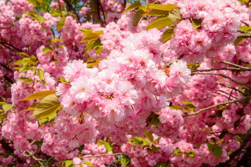 Prunusserrulatablomning eller japansk k?rsb?r arkivbild