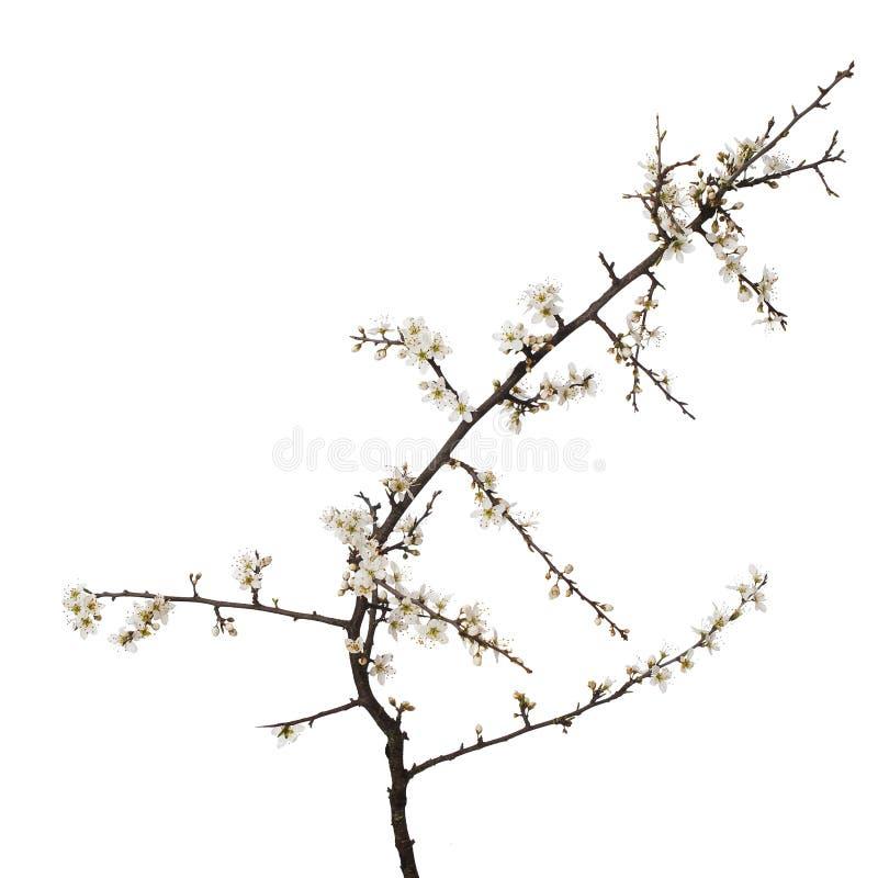 Prunusspinosa, de sleedoornbloesem van sleedoornaka in lente, op witte achtergrond wordt de geïsoleerd die Gevoelige witte bloeme stock foto