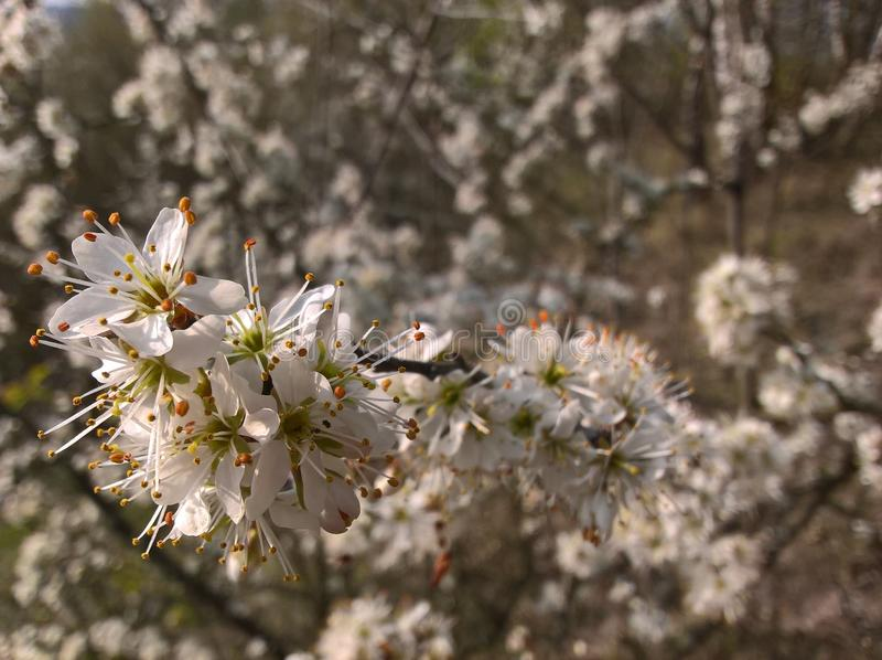 Prunusspinosaslån, slån - blomman arkivfoton