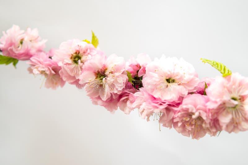 Prunustriloba som isoleras över vit royaltyfri bild