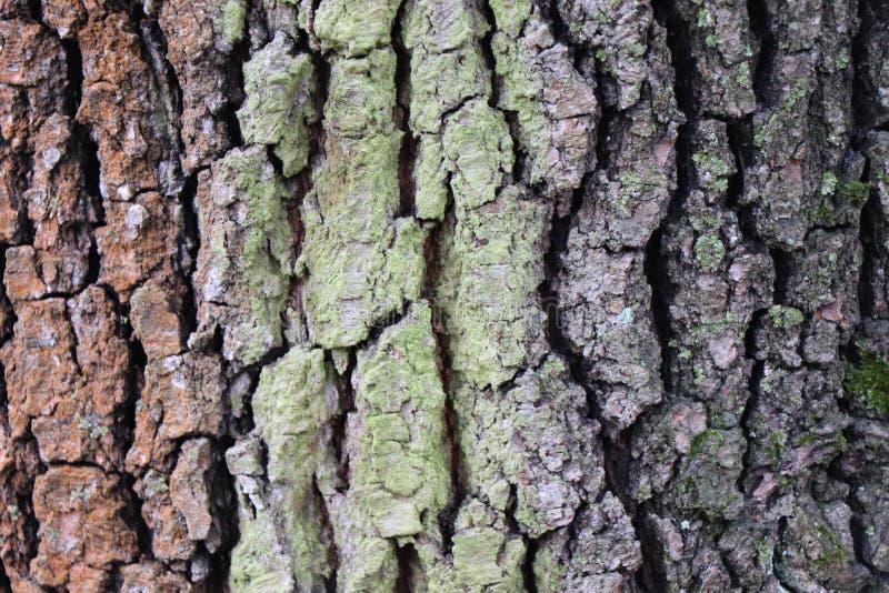 Prydlig detalj för barrträdträdskäll - skogupplaga arkivbilder