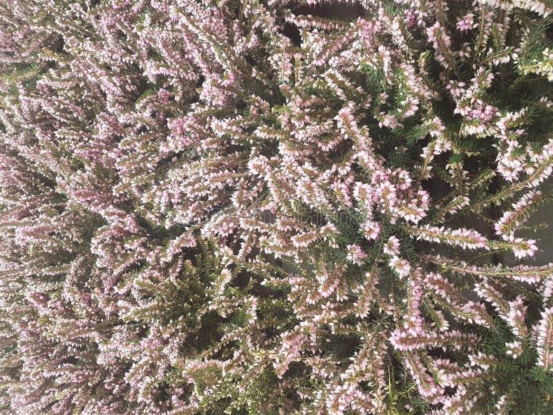 Prydlig frunchnärbild Ytbehandla fokusen Fluffig gräsplan sörjer frunchnärbild Jultapetbegrepp kopiera avstånd arkivbild