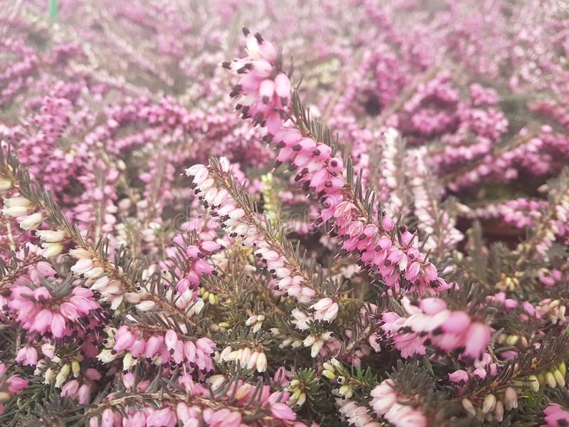 Prydlig frunchnärbild Ytbehandla fokusen Fluffig gräsplan sörjer frunchnärbild Jultapetbegrepp kopiera avstånd royaltyfri bild
