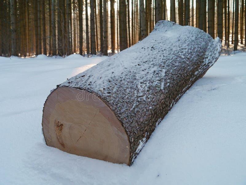 Prydlig stam i snöig trä arkivbild