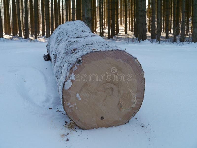 Prydlig stam med snöig trä royaltyfria foton