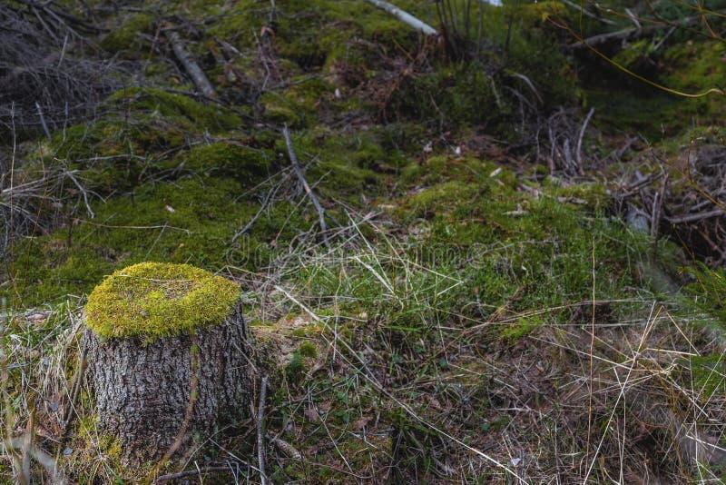 Prydlig stubbe som överst täckas med den gröna skogen för mossa på våren arkivfoto