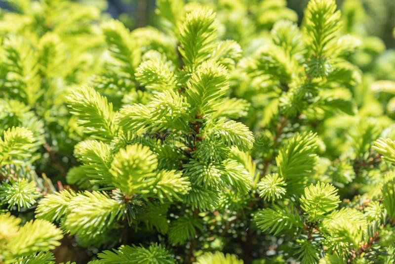 Prydliga knoppar blommar Unga växande forsar spirar på filialerna av den nära skogen för granen på våren upp arkivbild