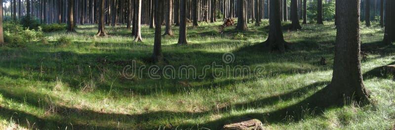 Prydliga träd i skogen på vårdagsljus arkivbilder
