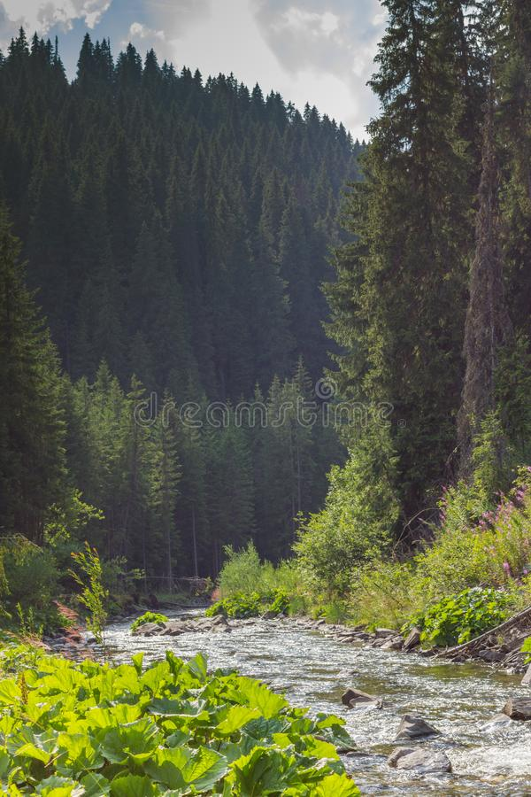 Prydligt landskap för träd med en härlig bergflod Carpathian parkerar den Cheremosh naturen i Ukraina royaltyfria foton