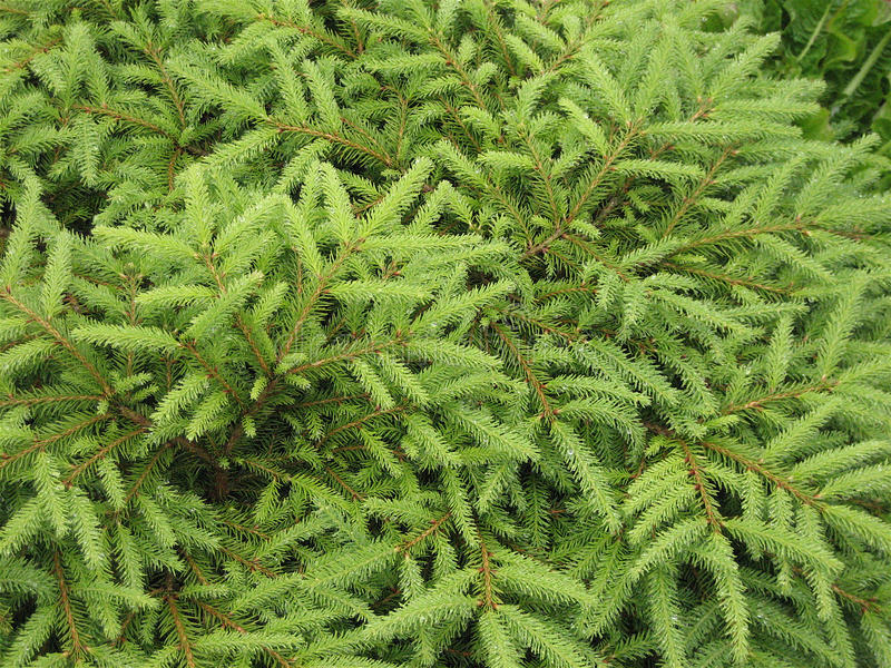Prydligt träd Alaska royaltyfri foto