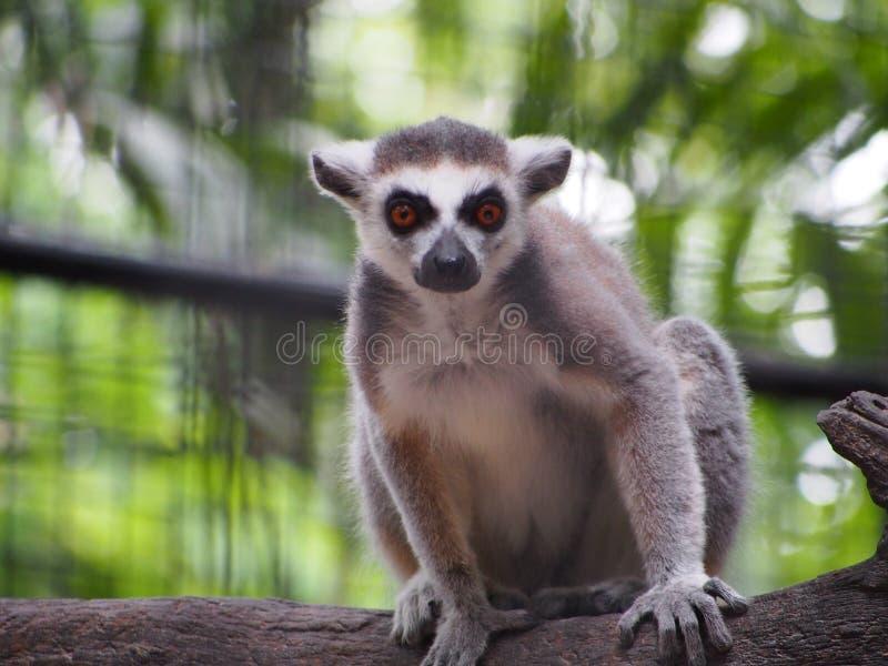 Prymasy w zoo, Bangkok, Tajlandia zdjęcie royalty free
