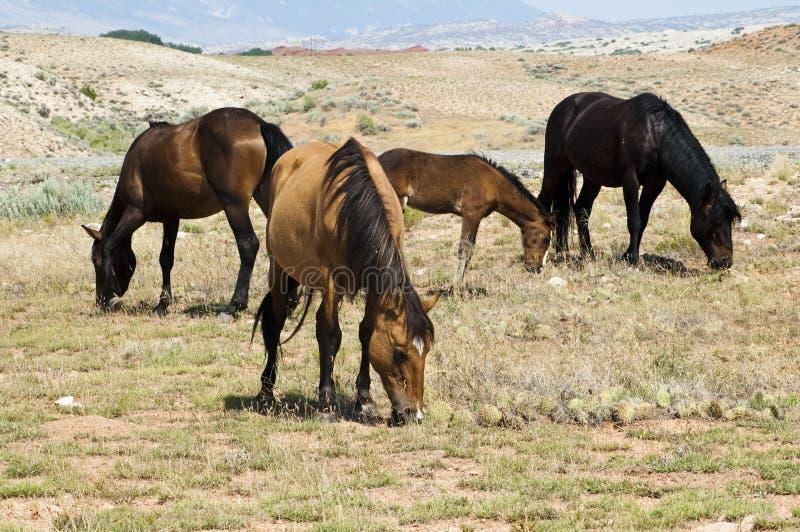 Pryor Mountain mustangs. Free roaming mustangs in the Pryor Mountain wild horse range in Wyoming royalty free stock photo