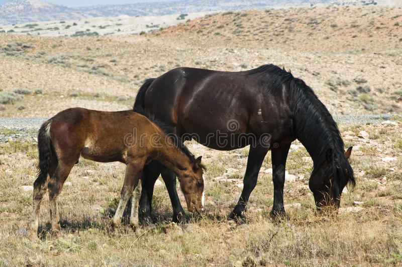 Download Pryor Mountain mustangs stock photo. Image of colt, heritage - 12921976