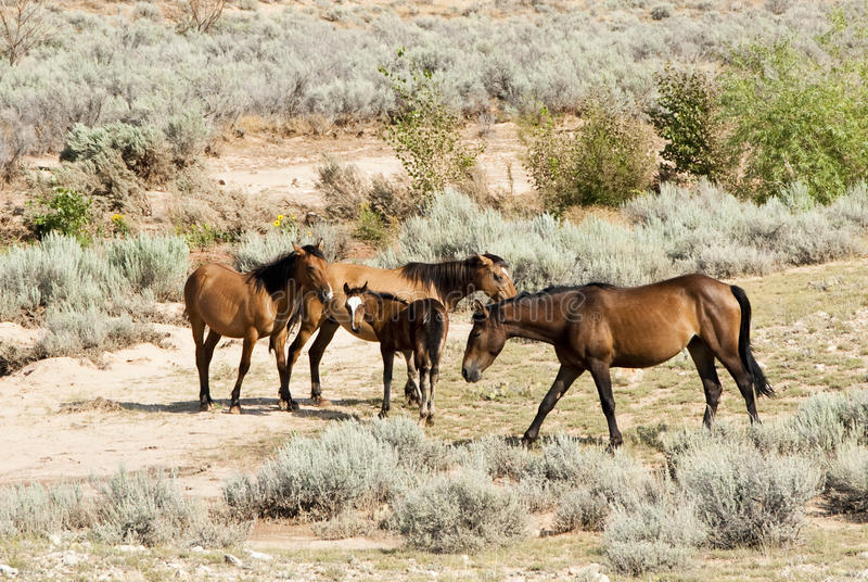 Download Pryor Mountain mustangs stock photo. Image of grass, area - 12922006