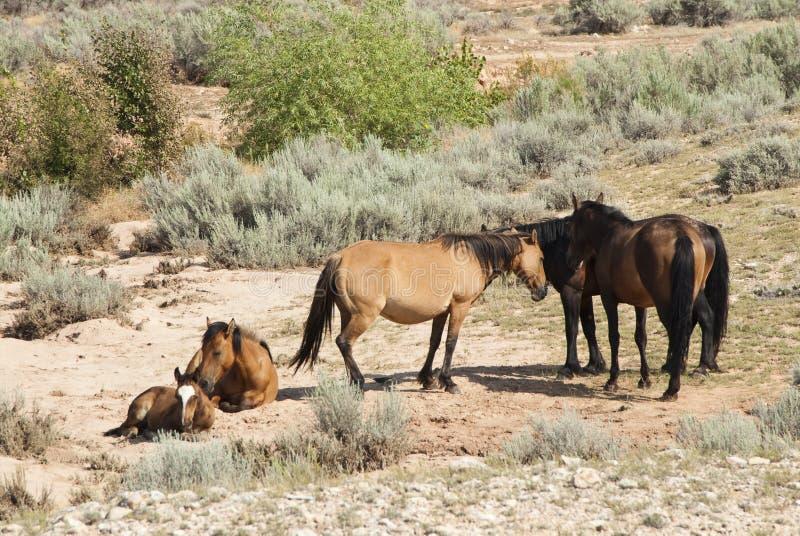 Pryor Mountain mustangs. Free roaming mustangs in the Pryor Mountain wild horse range in Wyoming royalty free stock images