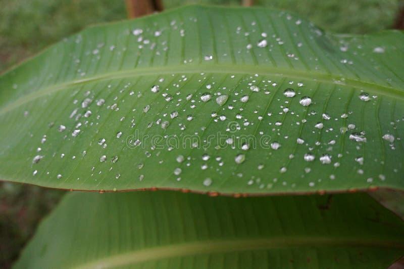 Prytt med pärlor vatten som samlas på det stora bladet royaltyfri bild