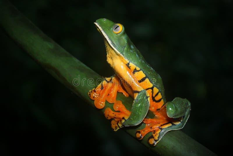 Prześwietna liść żaba obrazy royalty free