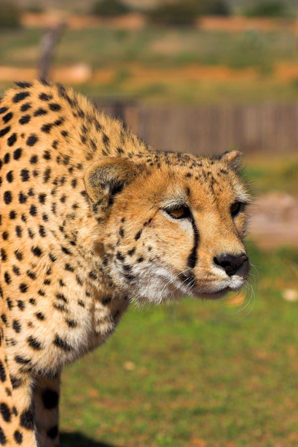 Download Prześladowanie geparda zdjęcie stock. Obraz złożonej z żakiet - 956896