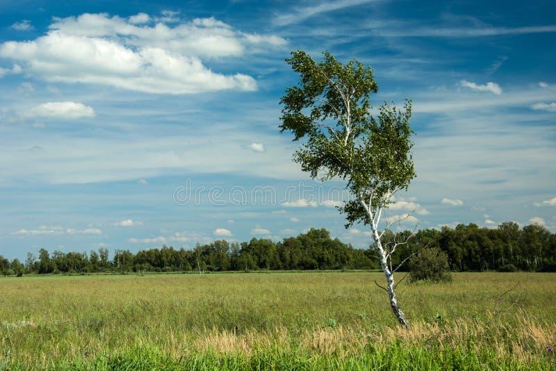 Przechylający brzozy drzewo w bielu i łąkowym chmurnieje w niebieskim niebie zdjęcia royalty free