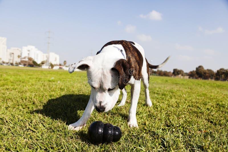 Pitbull pies z Żuć zabawkę przy parkiem obraz royalty free