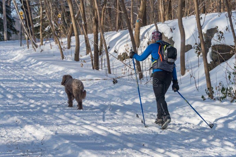 Przecinającego kraju narciarka i jej pies w Mont Królewskim parku obraz royalty free